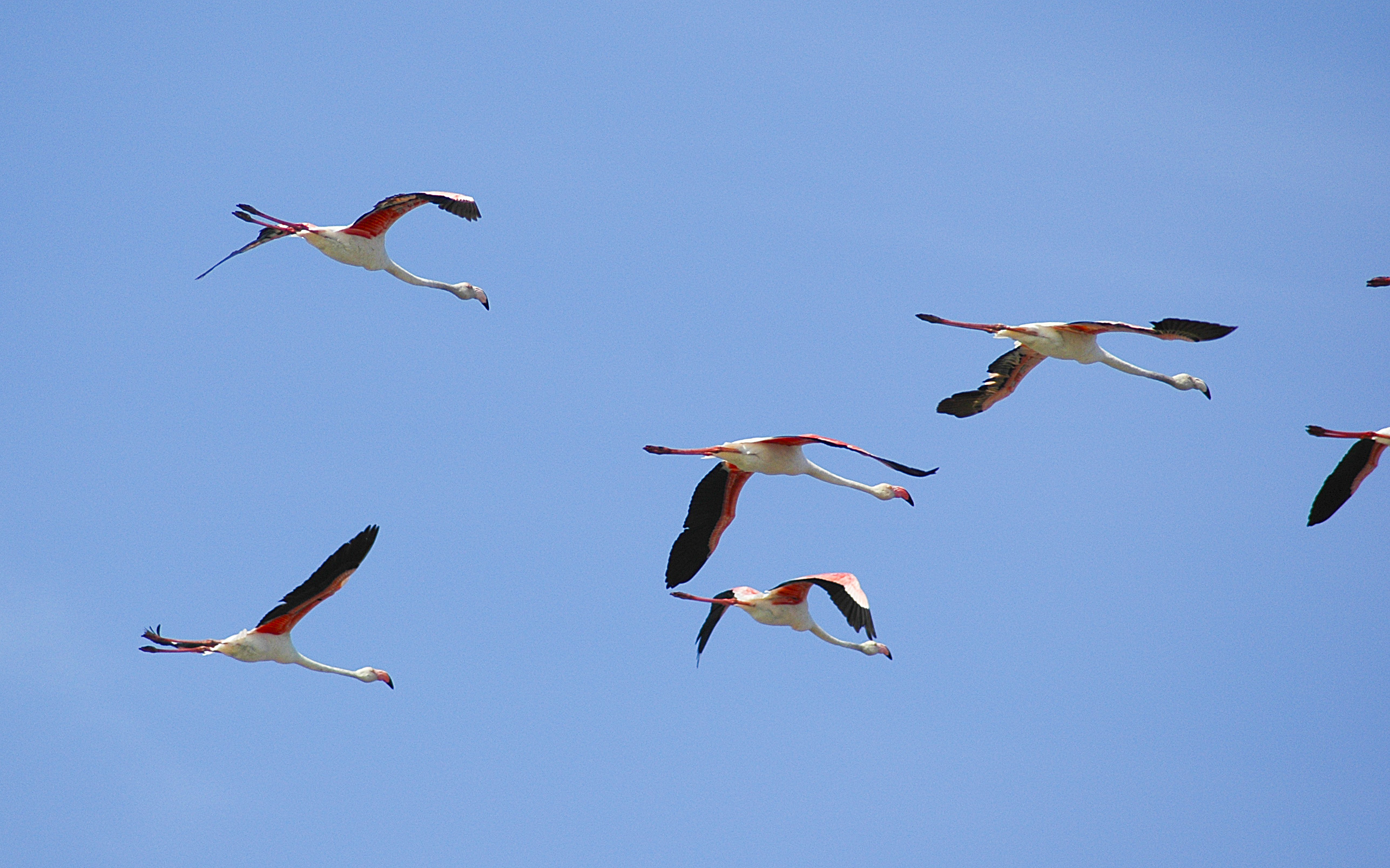MAROC MOULAY-BOUSSELHAM Flamands roses