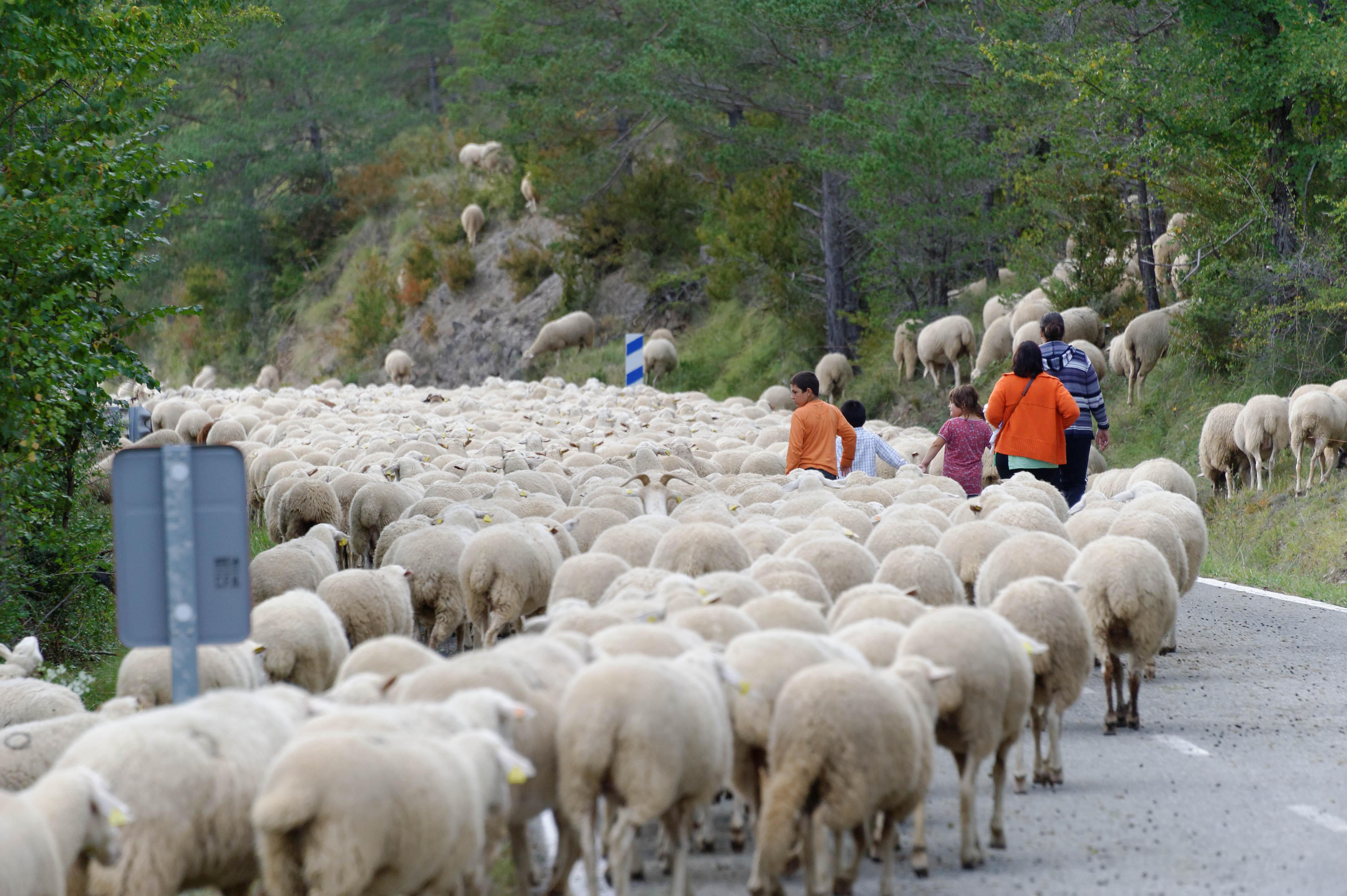 3878_milliers de moutons vers Roncal (Aragon)
