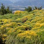 160628-Tella (La montagne dorée) (Sobrarbe-Aragon) (184)